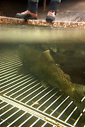 A wild coho salmon (Oncorhynchus kisutch) in the fish trap at Portland General Electric's Faraday hydroelectric facility.