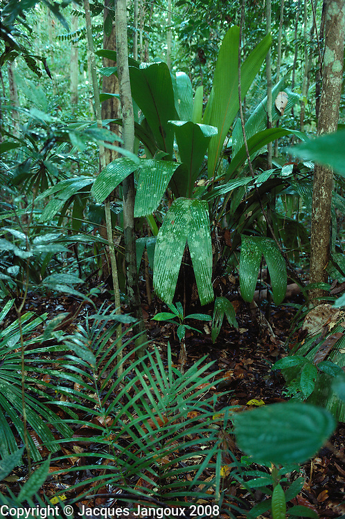 Tropical Rain forest with undergrowth rich in palms (top: Pinanga sp.) at Lambir Hills National Park Malaysia Borneo Sarawak