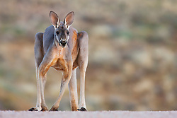 A red kangaroo (Macropus rufus)  hopping posing on a ridge, low-angle view, close-up  Sturt Stony Desert,  Australia
