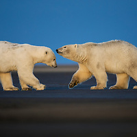 Two polar cubs spare in the Arctic National Wildlife Refuge, USA, 2016