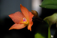 Macro close-up of a tiny epiphytic orchid flower, with iridescent orange petals and a bright pink yellow center