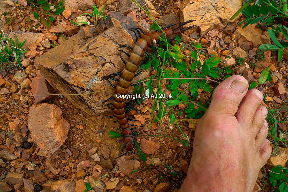 Long centipede next to a man's foot.