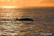 Bryde's whale, Balaenoptera brydei or Balaenoptera edeni, at sunset in Pacific Ocean off Cabo San Lucas, Baja California, Mexico ( Eastern Pacific Ocean )
