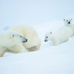 A polar bear mother and her 2 cubs have left their den and are heading out onto the ocean ice. Baffin Island, Canada