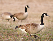 Canada Geese leaving a field after spending a late afternoon feeding.