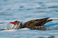 African Black Oystercatcher bathing, De Hoop Natue Reserve, Western Cape, SOuth Africa