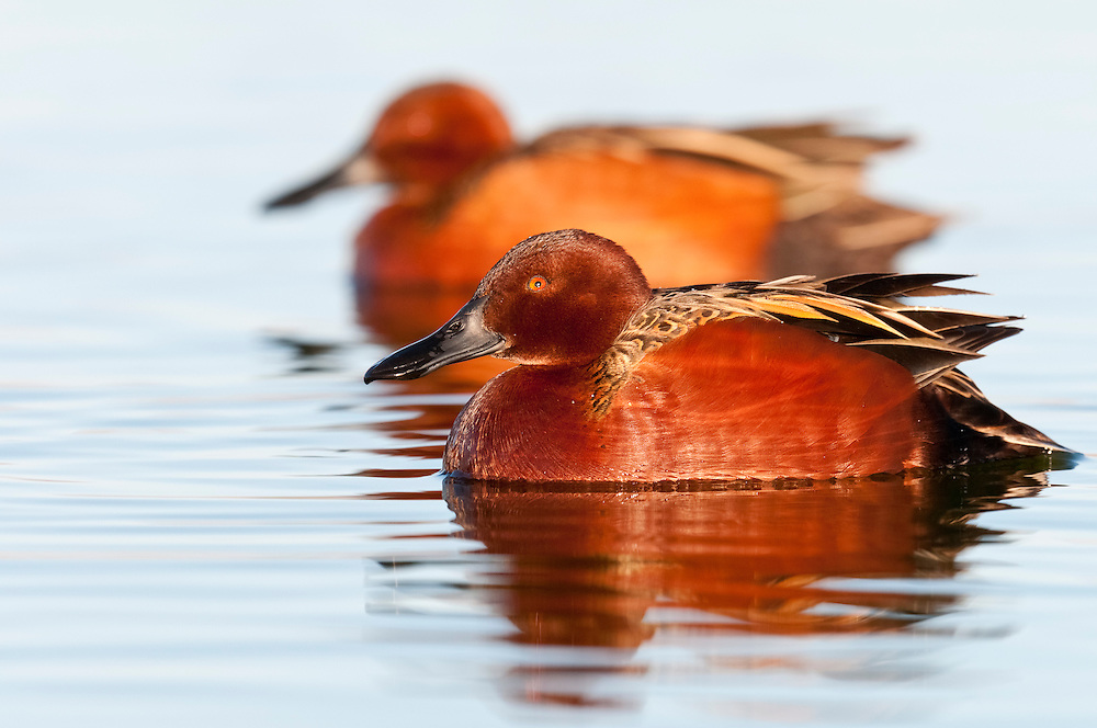 Cinnamon Teal, Anas cyanoptera, male, Washoe County, Nevada