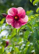 Flower in the gardens of the Restaurante Hacienda Ticuch near Valladolid, Mexico.