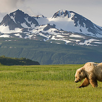 USA, Alaska, Katmai National Park, Brown Bear (Ursus arctos) feeding in sedge grass meadow along Hallo Bay