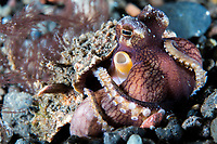 Coconut Octopus using a small scroll coral for cover<br /> <br /> Shot in Indonesia