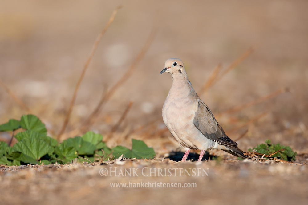 A mourning dove stands on the ground among vegetation