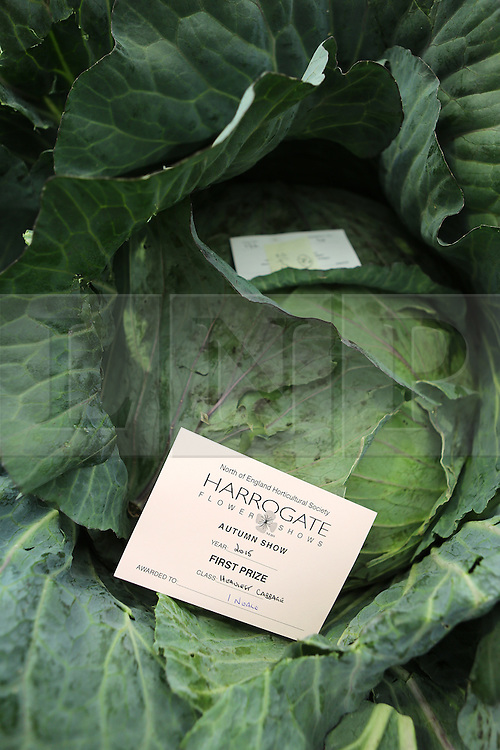 © Licensed to London News Pictures. 18/09/2015. Harrogate, UK. Picture shows Ian Neale's first prize winning heaviest Cabbage at the Giant Veg competition at the Harrogate Autumn Flower show. Photo credit: Andrew McCaren/LNP