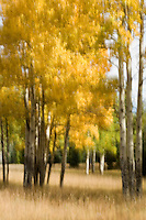 Aspen Impressions #2 - Autumn