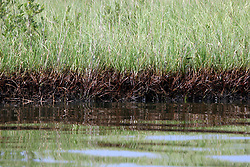 26 May 2010. Barataria Bay to Grand Isle, Jefferson/Lafourche Parish, Louisiana. <br /> The fragile grass lands perched at the mouth of Mississippi delta is all that seperates land from the Gulf of Mexico. The region is strategically vital to the American oil and gas industry and a major player in America's seafood industry. BP's catastrophic oil spill continues to spew a black tide of death which continues to encroach upon everything in the region. The economic impact is devastating with shrimp boats tied up, vacation rentals and charter boat fishing trips are cancelled. The only real business is cleaning up big oil's disasterous screw up. Oil from the Deepwater Horizon catastrophe is evading booms laid out to stop it thanks in part to the dispersants which means the oil travels at every depth of the Gulf and washes ashore wherever the current carries it. <br /> Photo credit; Charlie Varley<br /> www.varleypix.com