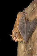 A california bat (Myotis californicus) roosting a rock at The Nature Conservancy's Moses Coulee Field Station in central Washington.