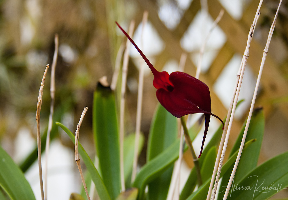 A rich crimson masdevallia orchid flower dances over green leaves