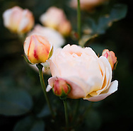 Peach colored roses in the garden of Suzinn Weiss in Portland, OR