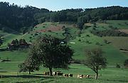 Deutschland, Germany,Baden-Wuerttemberg.Schwarzwald.Bei Reichenbach, Landschaft mit Wiesen, Bäumen, Kühen und Schwarzwald-Bauernhöfen.Near Reichenbach, landscape with fields, trees, farm houses...