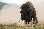Bellowing and pawing the ground, this bull bison rises from a dusty wallow, daring other bulls to challenge him during the August rut.