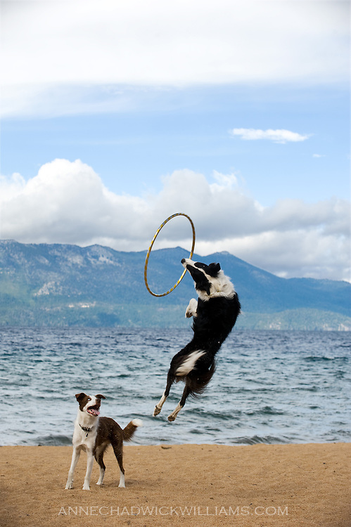 A border collie leaps for a hoop at Lake Tahoe.