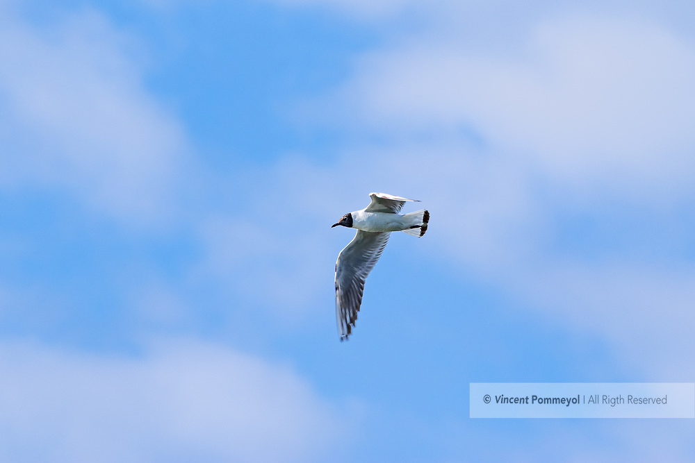 Black-headed gull-Mouette rieuse (Chroicocephalus ridibundus), Auvergne, France.