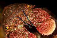 Arctides antipodarum (Spanish Lobster)