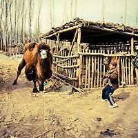 A Uyghur boy take a camel to a livestock market on February 24, 2012 in Turpan County, in the far western Xinjiang province, China. (Photo by Bernardo De Niz