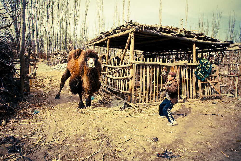A Uyghur boy take a camel to a livestock market on February 24, 2012 in Turpan County, in the far western Xinjiang province, China. (Photo by Bernardo De Niz