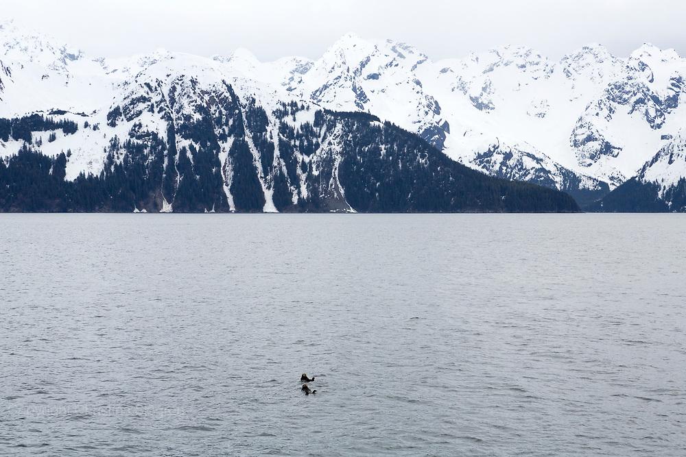 Två havsuttrar nära Seward, Alaska, USA.