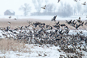 Mallards, Anas platyrhynchos, Northern Pintails, Cackling & Greater White-fronted Geese, Brown County, South Dakota