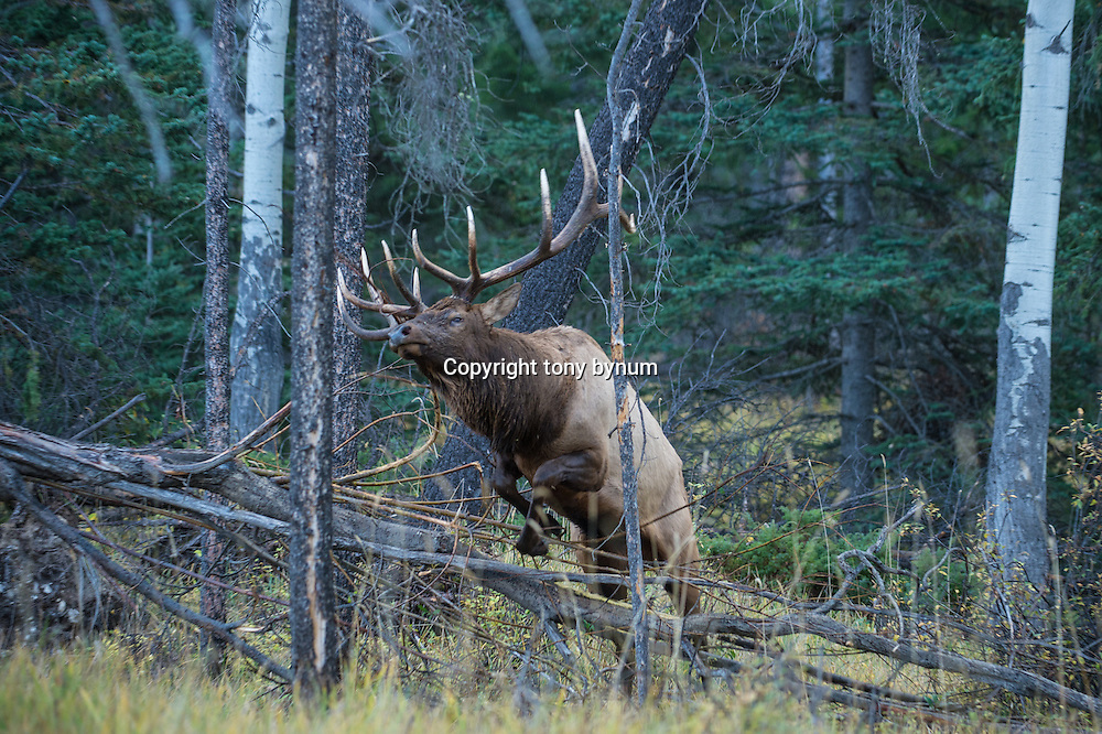 bull elk leaping over downed timber