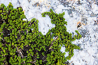 Aspalathus quarticola plants growing amongst an outcrop of quartz. , Renosterveld, Western Cape, South Africa