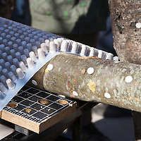 Hardwood logs innoculated with shiitake mushroom spawn. (Lentinula edodes)