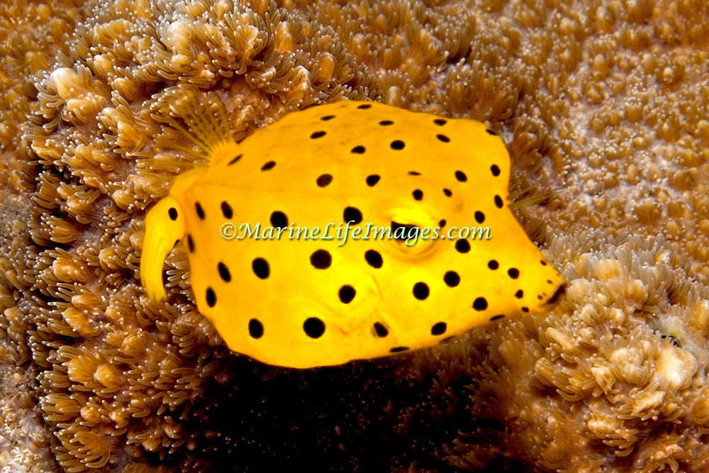 Yellow Boxfish inhabit reefs. Pictue taken Halmahera Islands, Indonesia.