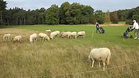 LEUSDEN - Schapen begrazen de golfbaan. Golfclub de Hoge Kleij. COPYRIGHT KOEN SUYK