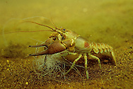 Rusty Crayfish tangled in fishing line.<br />