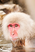 JAPAN, Jigokudani Yaen-koen, Nagano (Honshu)<br /> Snow monkey (Macaca fuscata)