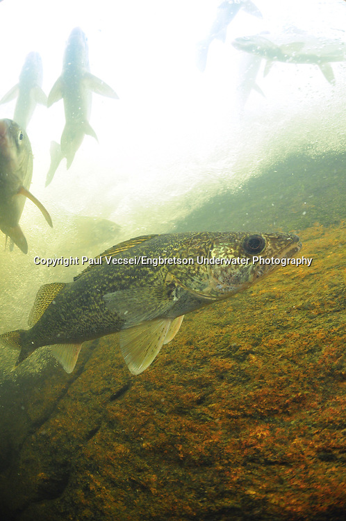 Walleye (with Lake Whitefish)<br /> <br /> Paul Vecsei/Engbretson Underwater Photography