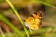 Pearl Crescent - Hodges#4481 (Phyciodes tharos)<br /> United States: Alabama: Tuscaloosa Co.<br /> Tulip Tree Springs off Echola Rd.; Elrod<br /> 6-Oct-2017<br /> J.C. Abbott #2999