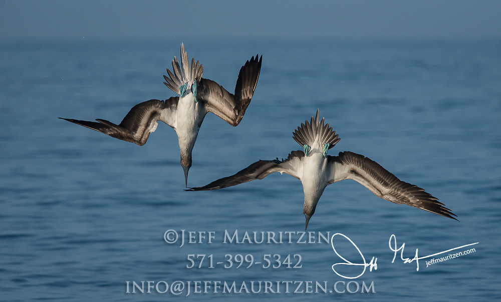 A pair of Blue-footed boobies plunge-dive into the Pacific ocean near the Galapagos islands.