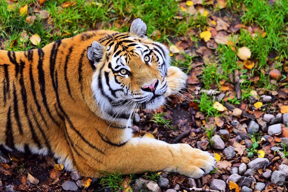 Tiger of the Love in Saint Félicien's zoo in Quebec. Tigre de l'Amour dans le zoo de Saint-Félicien au Québec.