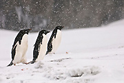Adelie penguins walk by with blowing snow with brown bluff in the background.