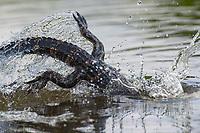 American Alligator, Alligator mississippiensis<br /> Photographer: Cissy Beasley<br /> Ranch: Welder Wildlife Refuge -  Rob &amp; Bessie Welder Wildlife Foundation<br /> Refugio County
