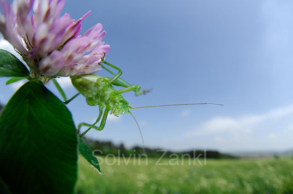 Die Punktierte Zartschrecke (Leptophyes punctatissima) ist eine 1-1,5 cm große Art der Laubheuschrecken (Tettigoniidae) und gehört zu der Ordnung der Langfühlerschrecken (Ensifera). | The speckled bush-cricket (Leptophyes punctatissima) is a species of bush-cricket common in well vegetated areas of England and Wales, such as woodland margins, hedgerows and gardens.