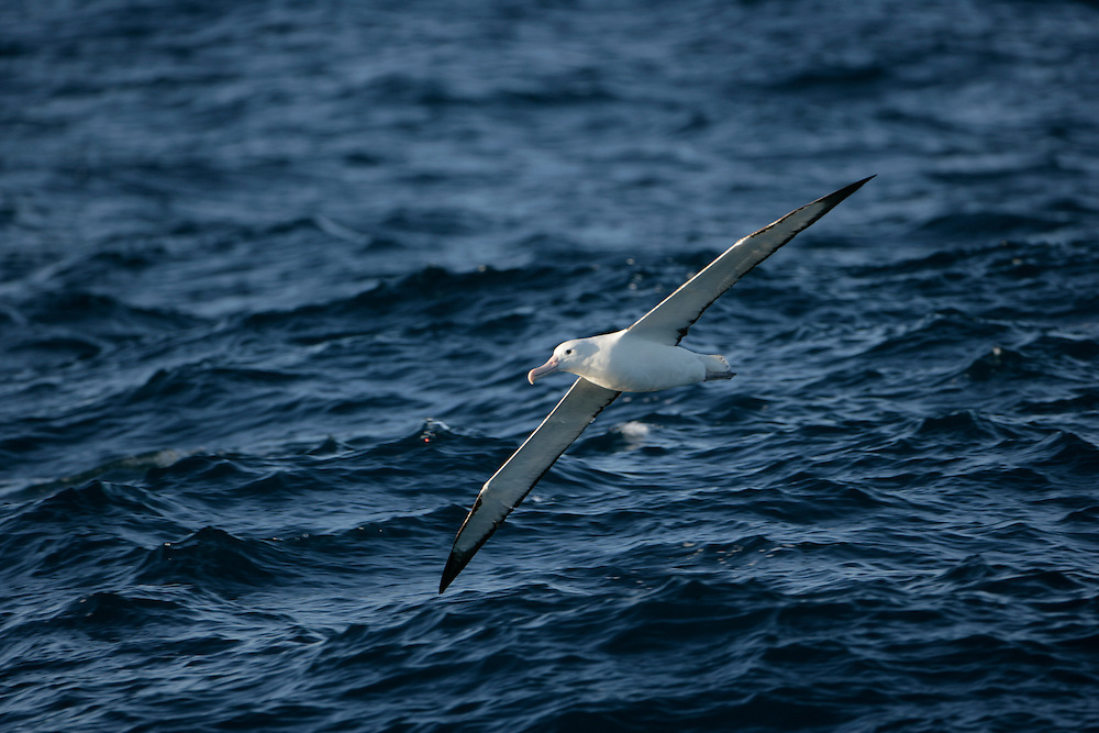 Jan. 30, 2007. Southern Ocean. A Wandering Albatross (Diomedea exulans), seen here flying across the Southern Ocean, has a wingspan of up to 115 inches.