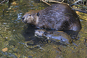 North American Beaver<br /> Castor canadensis<br /> Mother and eight-week-old kit<br /> Martinez, CA