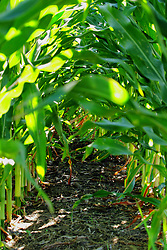 rows of corn (maize)