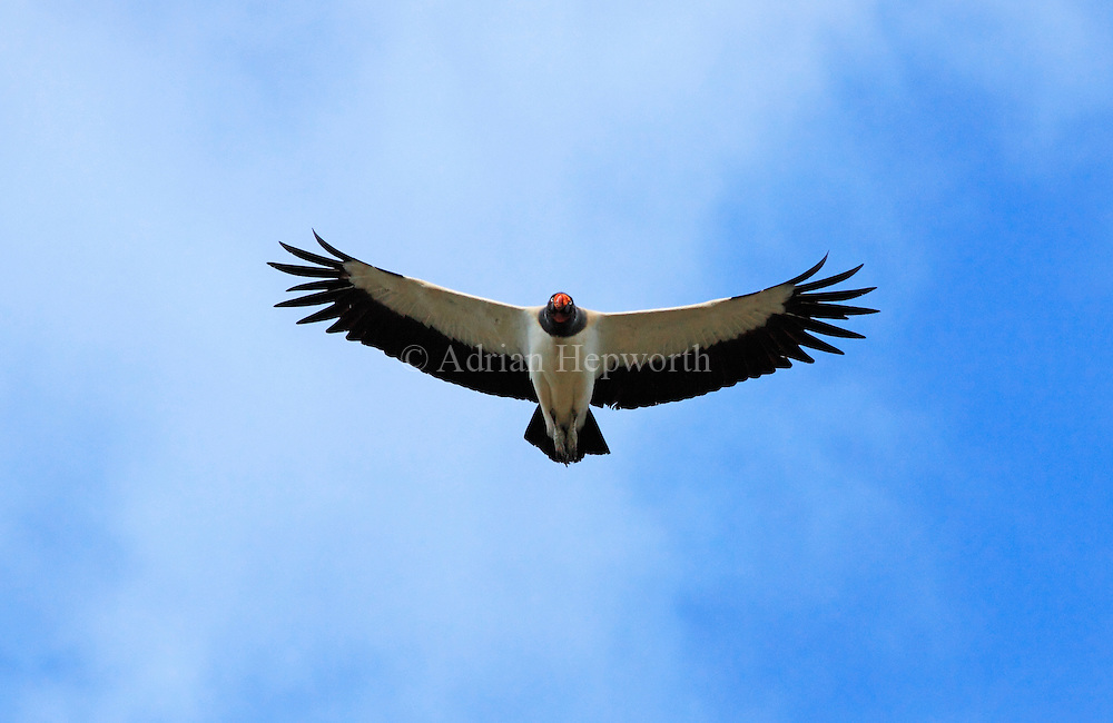 King vulture (Sarcoramphus; papa) in flight. Guanacaste, Costa Rica. <br />