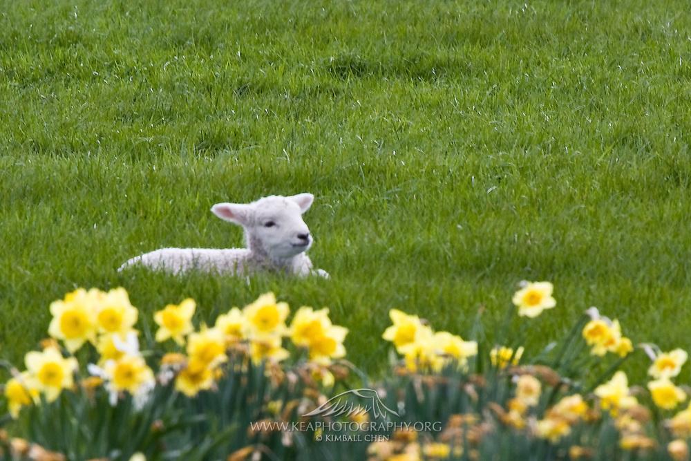 one happy lamb, New Zealand
