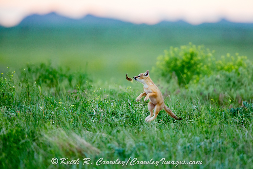 Swift fox (Vulpes velox) pups play at a grasslands den site.